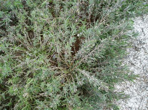 pruning lavender bush lovegrass farm lavender plants are ready for sale today