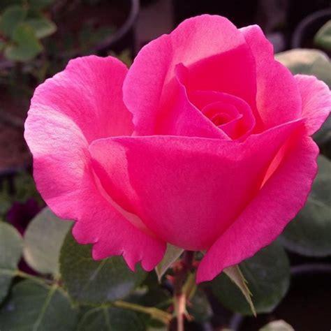 significato e linguaggio dei fiori