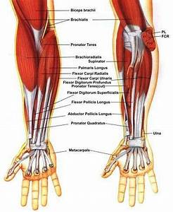 Pictures Of Brachioradialis Tendons