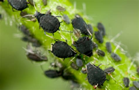 black bugs on christmas tree how to get rid of aphids 12 organic methods that work