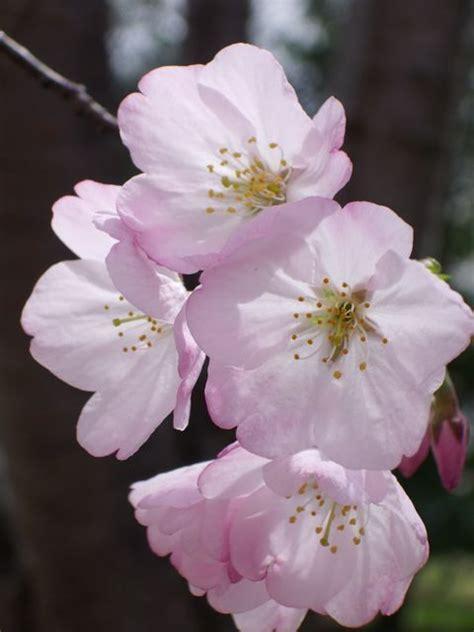 sakura flower close  discover nikkei