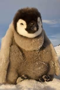 Fat Cute Baby Penguins