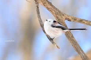 シマエナガ:シマエナガ - LOVE-BIRDS.NET
