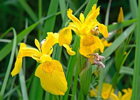 bloemen in afwasmiddel en water fotograferen gele lis bloemen in vrolijk zomergeel