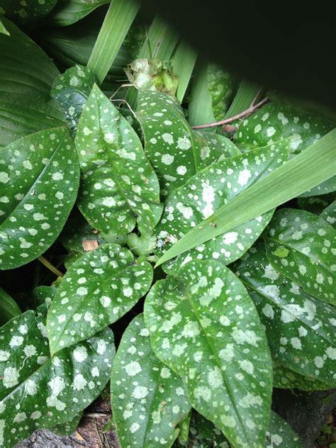 Speckled leaves   Plant leaves, Plants, Leaves