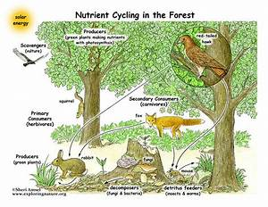 Food Webs - The Nutrient Cycle