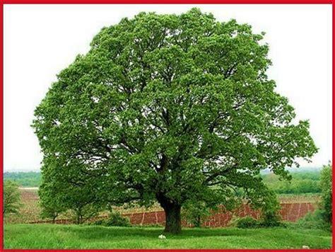 Oregon White Oak  Radical Botany