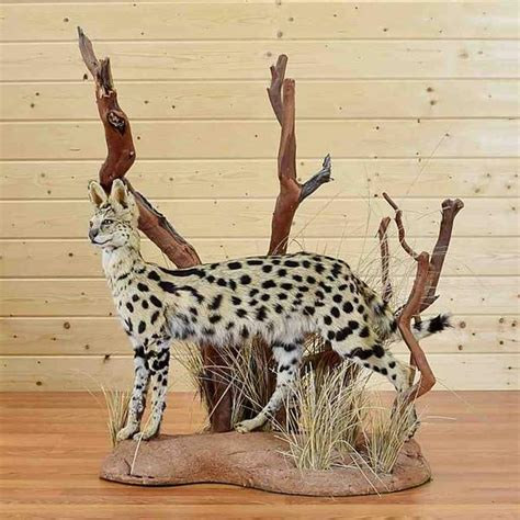 African Serval Cat Taxidermy Mount Sw  Sale