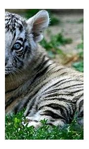 Really Cute Baby Tigers   Opera Wallpapers