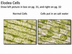 Biology 1 Packet Ii Lab Plasmolysis In Plant Cells