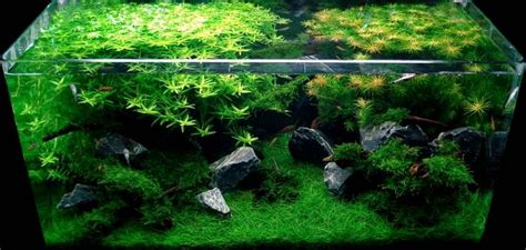 Aquascape Shrimp Tank by Cherry Shrimp Aquascape Aquariums Aquarium Shrimp