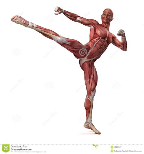 Muscular System Images The Muscular System Stock Illustration Image 45382347