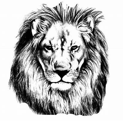 Lion Head Lions Drawing Sketch Transparent Pencil