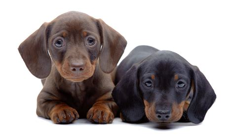 Busting  Myths About The  Ee  Dachshund Ee   Dog Reference