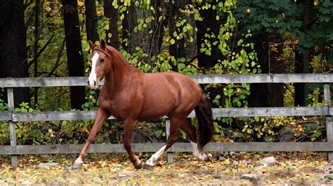 horse quarter american running brown breeds most popular pic breed animals wallpapers hdnicewallpapers scoop inside