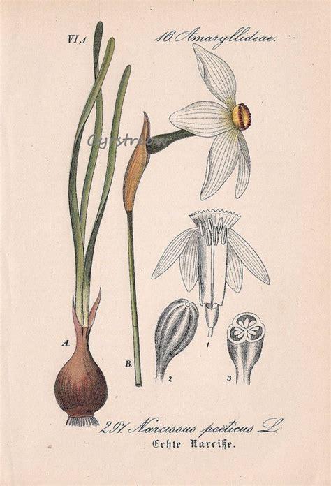 botanical daffodil print flower antique daffodils illustration poet