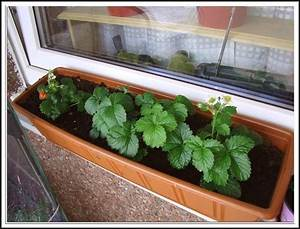 Erdbeeren Pflege Balkon : erdbeeren pflanzen erdbeeren pflanzen der beste zeitpunkt ~ Lizthompson.info Haus und Dekorationen