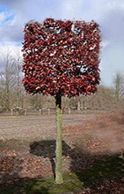 amberboom kopen liquidambar styraciflua aanbieding kopen
