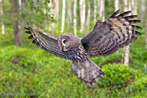 Hd Owl Wallpapers by Best Beautiful Hd Wallpapers For Desktop Basckground Owl