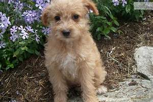 Chi-Poo - Chipoo puppy for sale near Lancaster ...