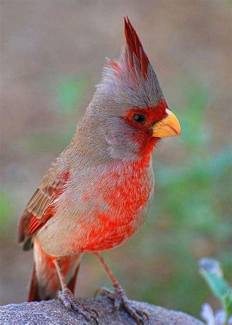 pyrrhuloxia cardinalis sinuatus sometimes referred to as a quot desert cardinal quot this wild bird