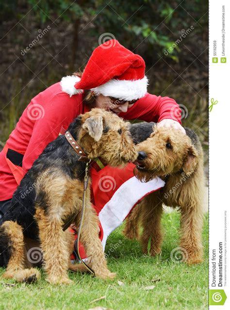 Terrier Dressed As Santa Claus Stock Photo Santa 39 S Helpers In Santa Claus Costume Two