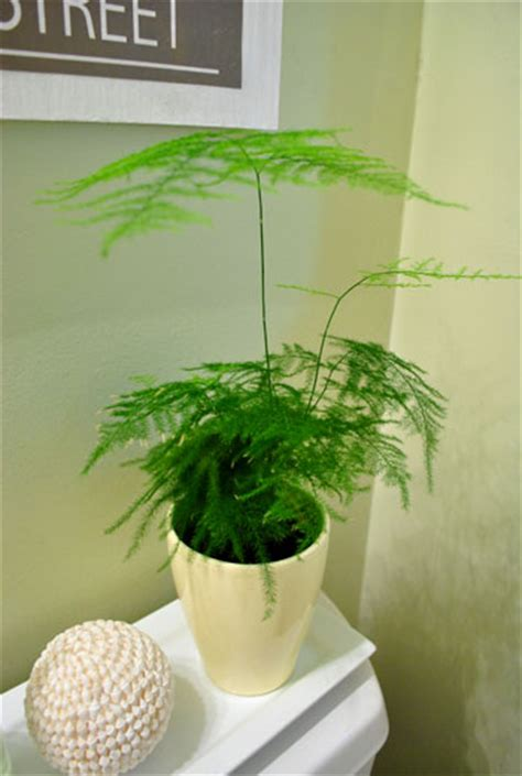 pot plants for the bathroom asparagus in the bathroom house