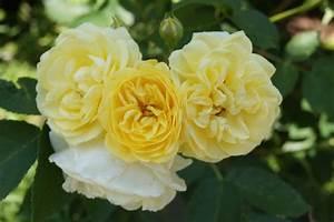 Ich Suche Garten : ich suche eure gelben lieblingsrosen page 2 mein sch ner garten forum ~ Whattoseeinmadrid.com Haus und Dekorationen