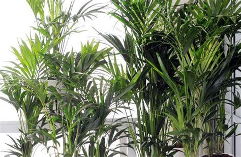 Howea Ist Zimmerpflanze Des Monats Januar  Frischer Start