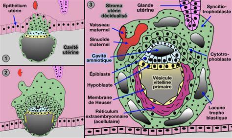 chambre intervilleuse gestation chez les mammifères annexes foetales