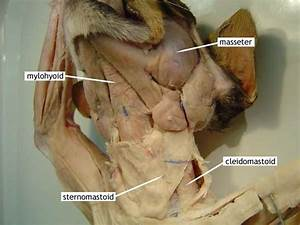 Biology 2151 > Mcmahon > Flashcards > Muscles of cat with ...