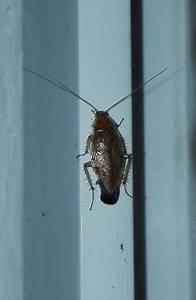 Können Kakerlaken Fliegen : ist das eine schabe oder eine kakerlake biologie k fer ~ Watch28wear.com Haus und Dekorationen