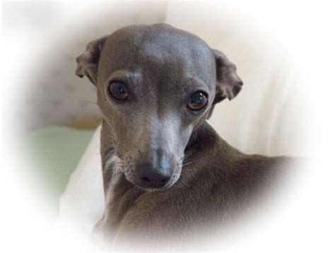 Gallery The Italian Greyhound Rescue Charity