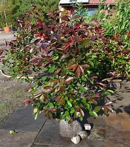 Glanzmispel Rote Blätter Fallen Ab : red robin glanzmispel glanzmispel 39 red robin 39 ~ Lizthompson.info Haus und Dekorationen