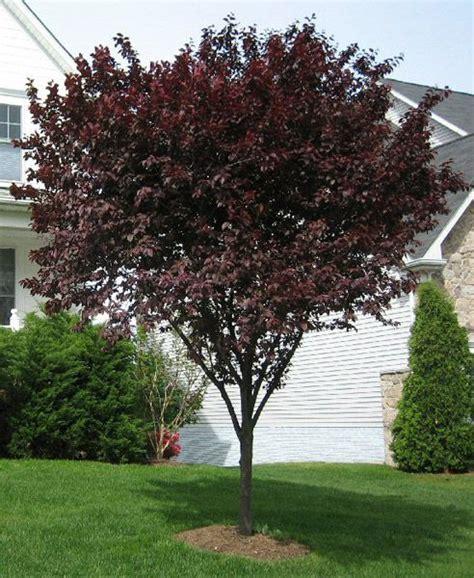 purple leaf flowering plum tree purple leaf plum outdoor ideas pinterest
