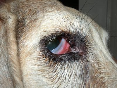 dog   cherry eye
