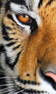 The Eye Of A Tiger... by NateFischPix, via Flickr ...