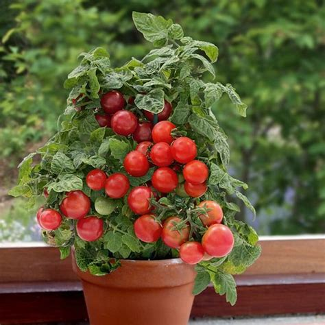 Best Windowsill Plants by Windowsill Vegetable Gardening 11 Best Vegetables To
