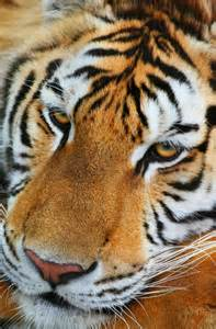 Siberian Tiger Animals