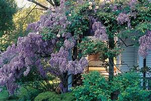 Choosing a Wisteria - Sunset Magazine