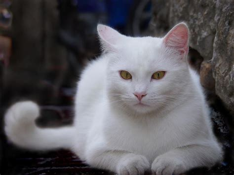 white cats white cat pixdaus