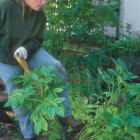 tips  dividing perennial plants finegardening