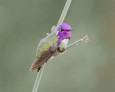 costa s hummingbird feederwatch