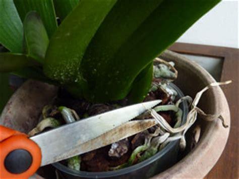 tailler une orchidee en pot orchid 233 e phalaenopsis trucs et astuces