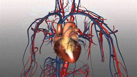 Blood vessels are the channels or conduits through which blood is distributed to body tissues. The Heart and Major Vessels - PART 1 - Anatomy Tutorial ...