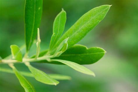 baum stecklinge ziehen olivenbaum vermehren 187 so geht s mit samen oder stecklingen
