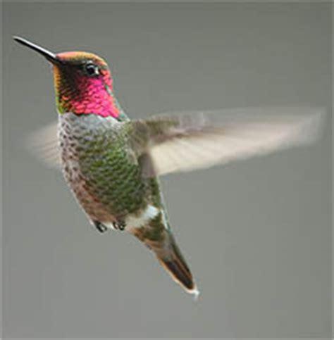 hummingbird feeder experiment ask a biologist