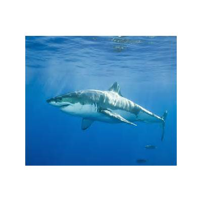 great white sharksCuriousppl