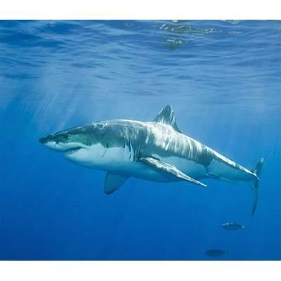 white sharksCuriousppl