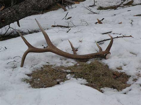 moose antlers shed antler creek wildlife creations category archives elk